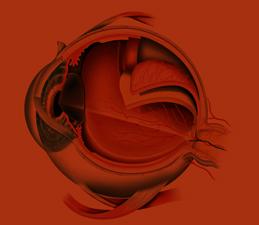 חתך רוחבי של מבנה העין